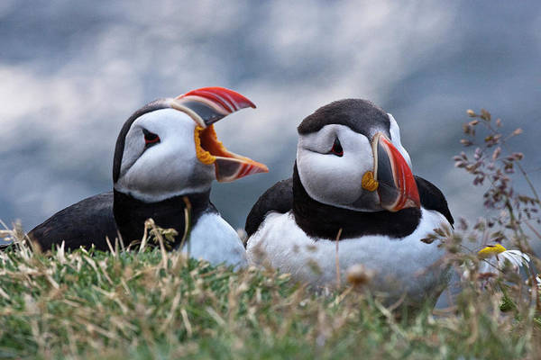 Wall Art - Photograph - Iceland, Breidavik, Puffins by Hollice Looney