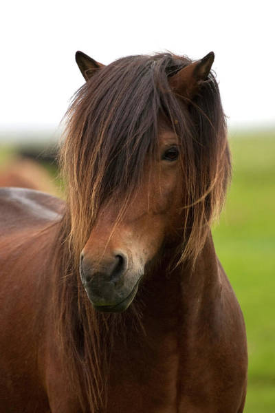 Wall Art - Photograph - Iceland, Icelandic Horse by Hollice Looney