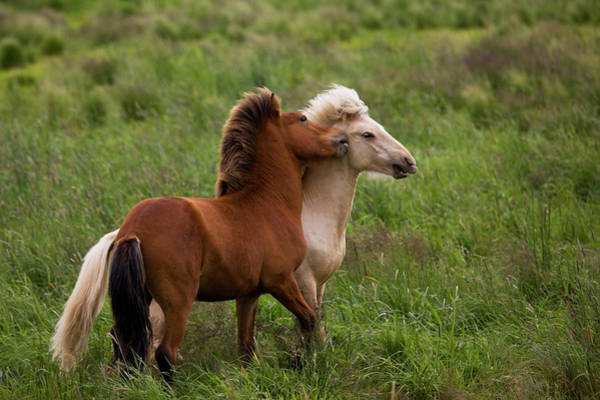 Don Photograph - Iceland Icelandic Horses Getting Feisty by Jaynes Gallery