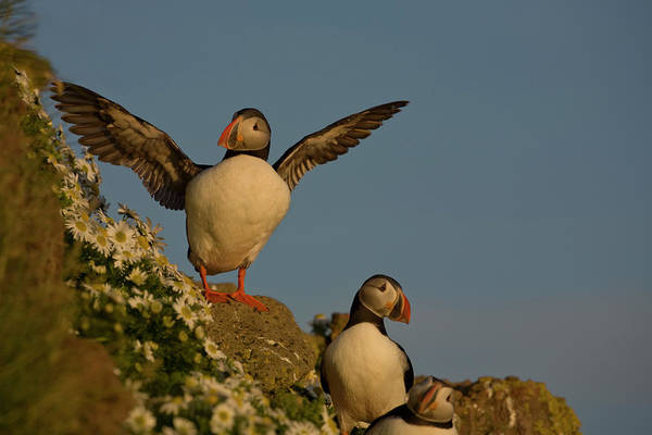 Puffins Wall Art - Photograph - Iceland, Latrabjarg by Jaynes Gallery