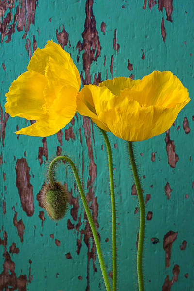 Paint Chips Photograph - Iceland Poppies Against Green Wall by Garry Gay
