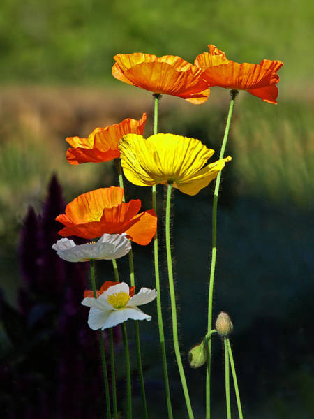 Photograph - Iceland Poppies In The Sun by Gill Billington