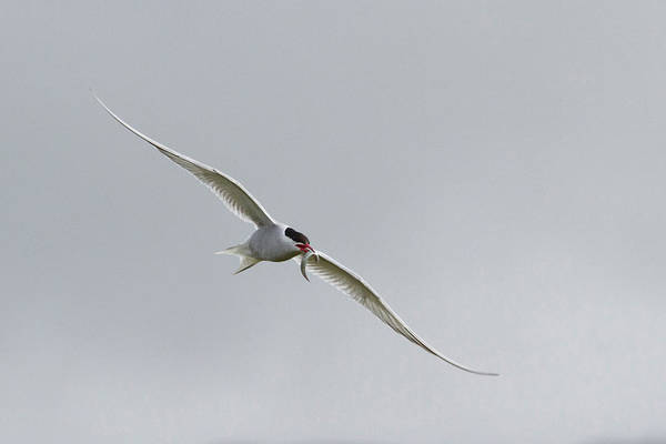 Tern Wall Art - Photograph - Iceland, Vik Arctic Tern Flying by Jaynes Gallery
