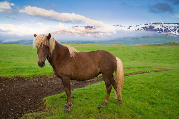 Photograph - Icelandic Horse In Wonderful Landscape In Iceland by Matthias Hauser
