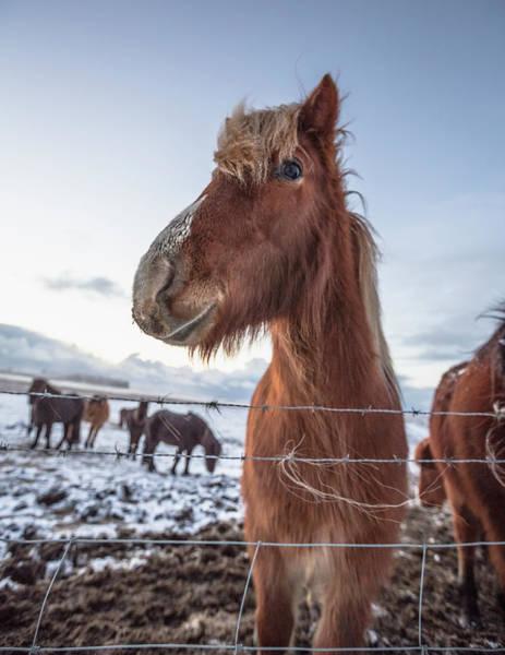 Fence Photograph - Icelandic Horse Near Reynisdrangar Sea by Ed Norton