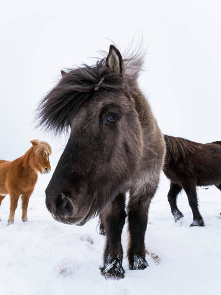 Dun Photograph - Icelandic Horse With Typical Winter Coat by Martin Zwick