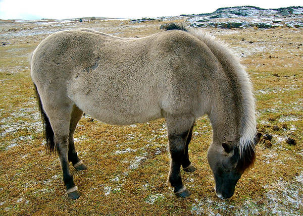 Photograph - Icelandic Horse by HweeYen Ong
