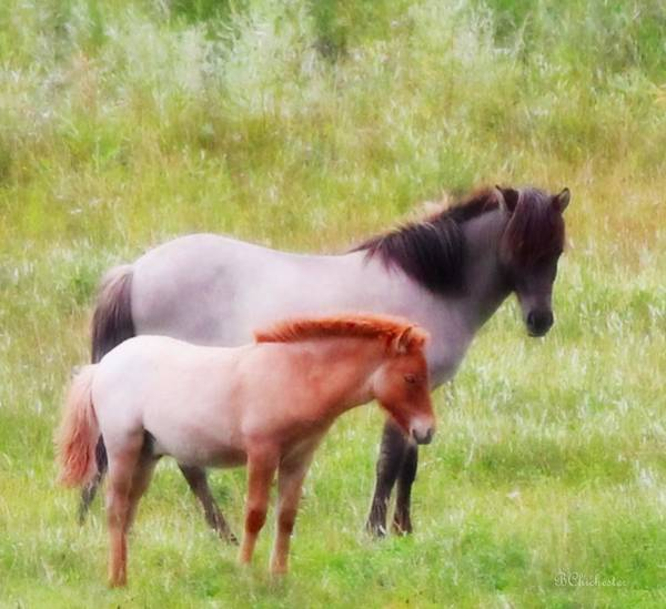 Icelandic Digital Art - Icelandic Mare And Foal by Barbara Chichester