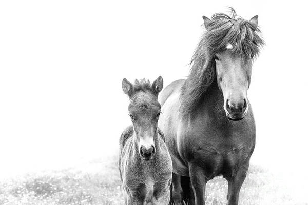 Mare And Foal Photograph - Icelandic Mare And Foal by Heather Swan