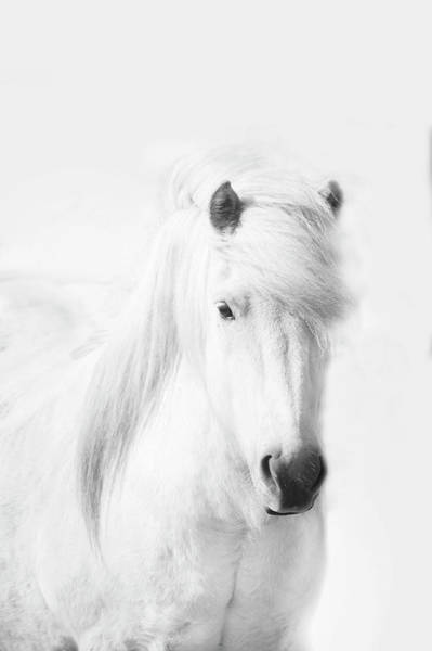 Domestic Animals Photograph - Icelandic Pony In White by Grant Faint