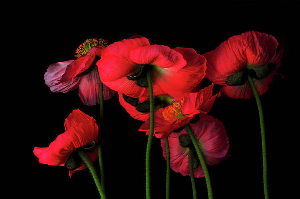 Black Background Photograph - Icelandic Poppies - The View From Down by Bill Gracey