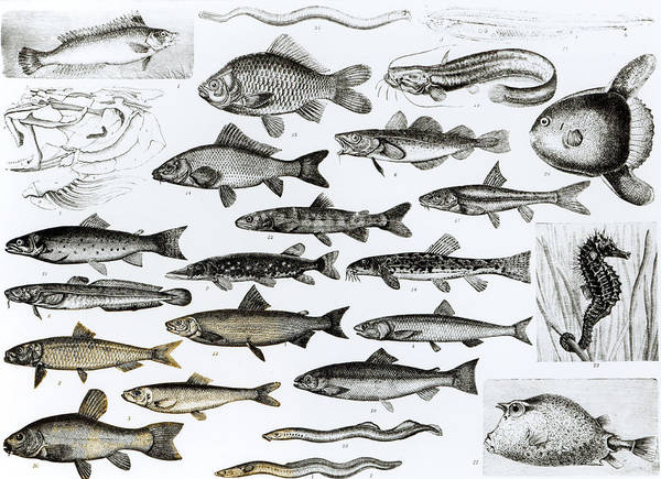 Ichthyology Wall Art - Drawing - Ichthyology by English School