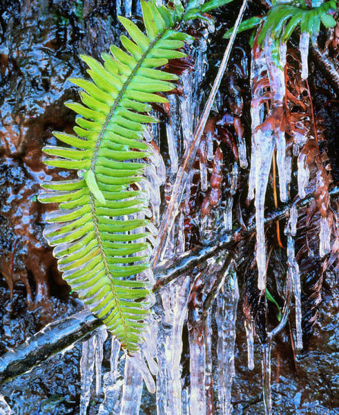 Icicles Photograph - Icicles Around A Fern Leaf by Simon Fraser/science Photo Library