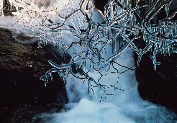 Icicles Photograph - Icicles On Branches by Chris Knapton/science Photo Library