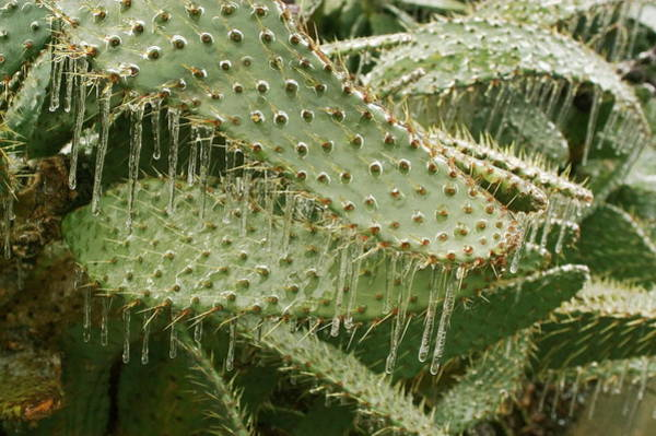 Icicles Wall Art - Photograph - Icicles On Cacti by Jim Reed/science Photo Library