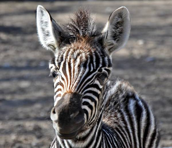 Bonneville County Photograph - Idaho Falls - Tautphaus Park Zoo by Image Takers Photography LLC