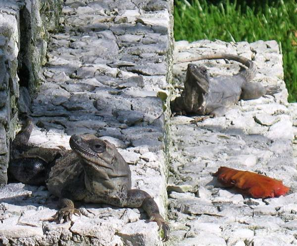 Photograph - Iguana Bask In The Sun With You by Patti Whitten