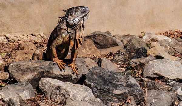 Photograph - Iguana by Charlie Roman