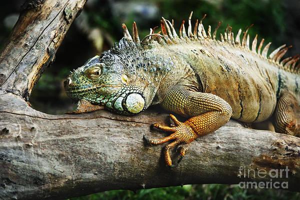 Green Iguana Wall Art - Pyrography - Iguana by Jelena Jovanovic