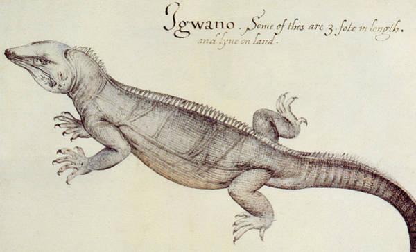Wall Art - Painting - Iguana by John White