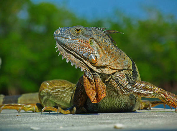 Photograph - Iguana by Juergen Roth