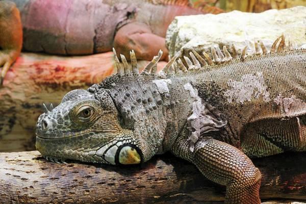 Green Iguana Wall Art - Photograph - Iguana On A Branch by Heiti Paves