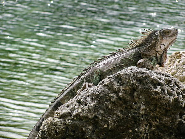 Photograph - Iguana On The Rocks by Simply  Photos