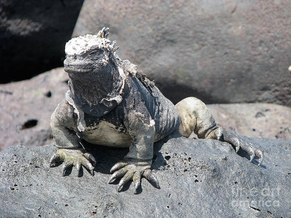 Photograph - Iguana Or Prehistory Survivor by Jola Martysz