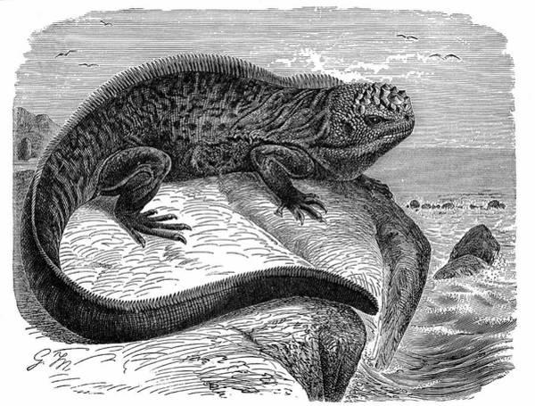Iguana Photograph - Iguana by Universal History Archive/uig