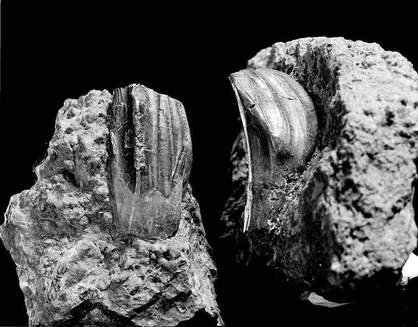 Wall Art - Photograph - Iguanodon Dinosaur Teeth by Natural History Museum, London/science Photo Library