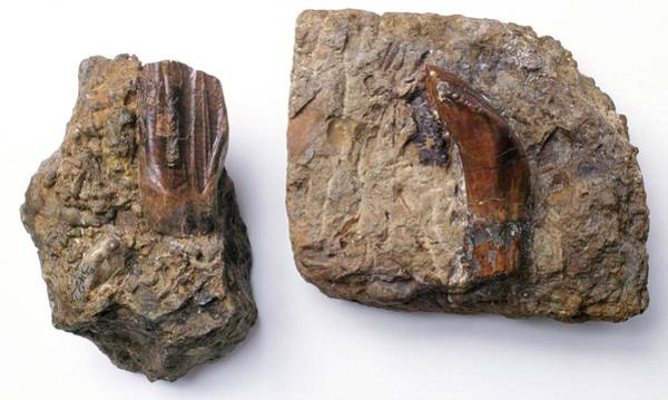 Wall Art - Photograph - Iguanodon Tooth Fossils by Natural History Museum, London/science Photo Library