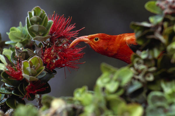 Photograph - IIwi On Ohia Lehua Flowers by Frans Lanting and MINT Images