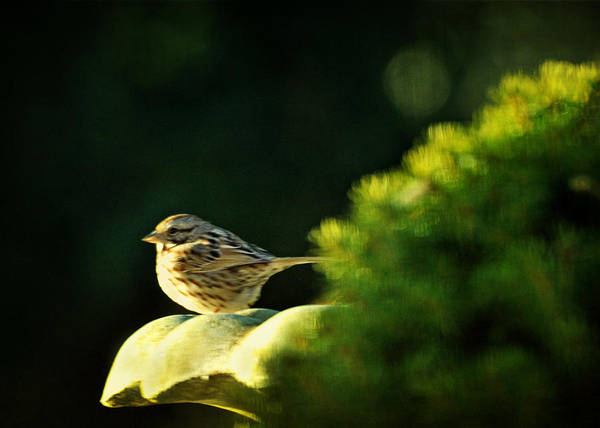 Photograph - I'll Have To Say I Love You In A Song Sparrow by Rebecca Sherman