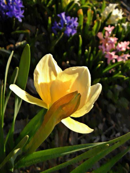 Black Narcissus Photograph - Illuminated Daffodil by Chris Berry