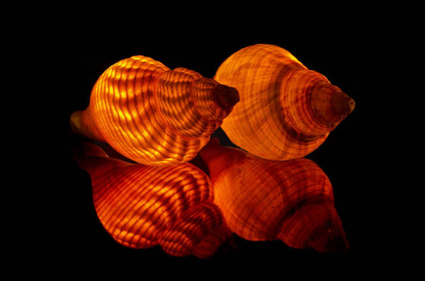 Illuminated Shells Art Print