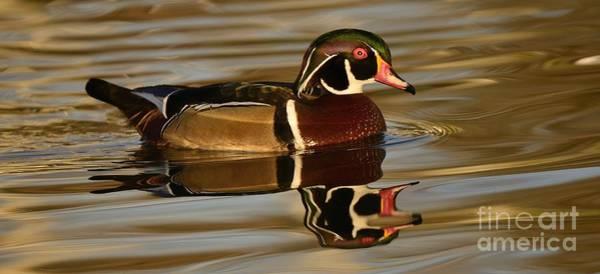 Photograph - Illuminated Wood Duck by John F Tsumas