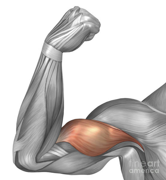 Muscle Tissue Digital Art - Illustration Of A Flexed Arm Showing by Stocktrek Images
