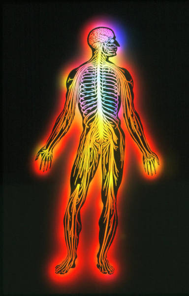 Nervous System Photograph - Illustration Of The Human Nervous System by Mehau Kulyk/science Photo Library