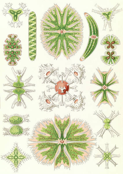 Wall Art - Drawing - Illustration Shows Algae. Desmidiea. - Bierdinge by Artokoloro