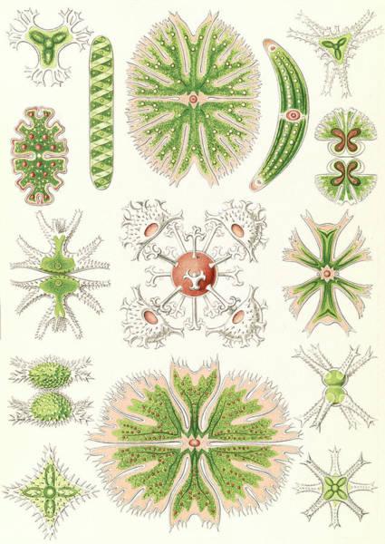 Wall Art - Drawing - Illustration Shows Algae. Desmidiea. - Bierdinge by Artokoloro