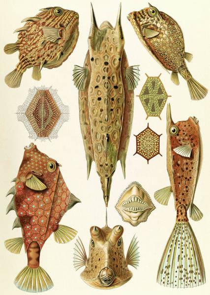 Wall Art - Drawing - Illustration Shows Boxfishes. Ostraciontes by Artokoloro
