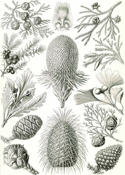 Wall Art - Drawing - Illustration Shows Conifers. Coniferae. - Bapfenbäume by Artokoloro