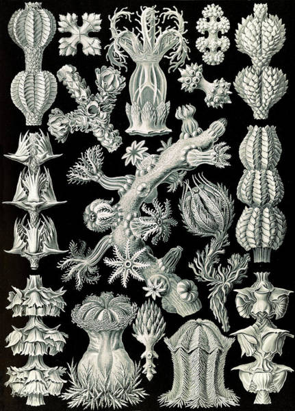 Wall Art - Drawing - Illustration Shows Corals In The Subclass Octocorallia by Artokoloro