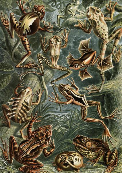 Wall Art - Drawing - Illustration Shows Frogs. Batrachia. - Frösche by Artokoloro