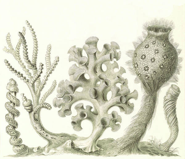 Wall Art - Drawing - Illustration Shows Glass Sponges. Hexactinellae by Artokoloro