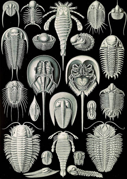 Wall Art - Drawing - Illustration Shows Horseshoe Crabs. Aspidonia by Artokoloro
