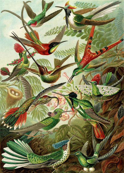 Wall Art - Drawing - Illustration Shows Hummingbirds. Trochilidae by Artokoloro