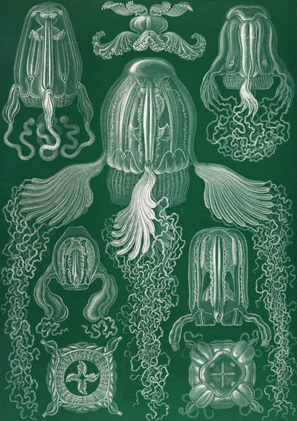 Wall Art - Drawing - Illustration Shows Jellyfish. Cubomedusae by Artokoloro