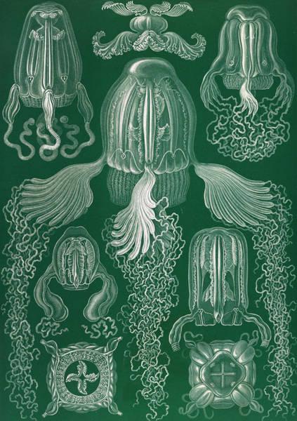 Wall Art - Drawing - Illustration Shows Jellyfish. Cubomedusae by Artokoloro