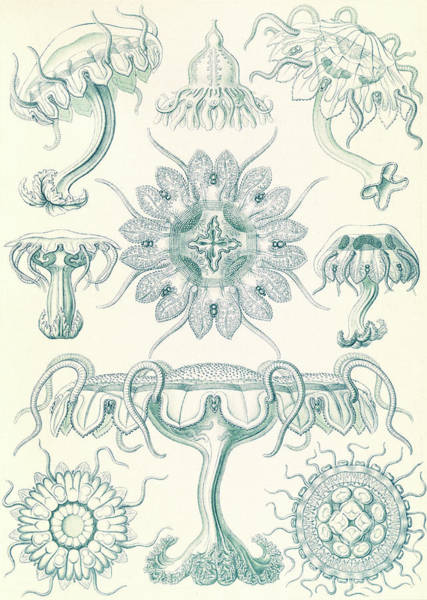 Wall Art - Drawing - Illustration Shows Jellyfishes. Discomedusae by Artokoloro